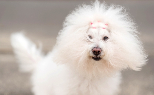 Portrait of a Bichon Havanese dog