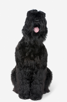 Russian Black Terrier, panting